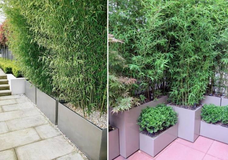 bambus im kübel neu