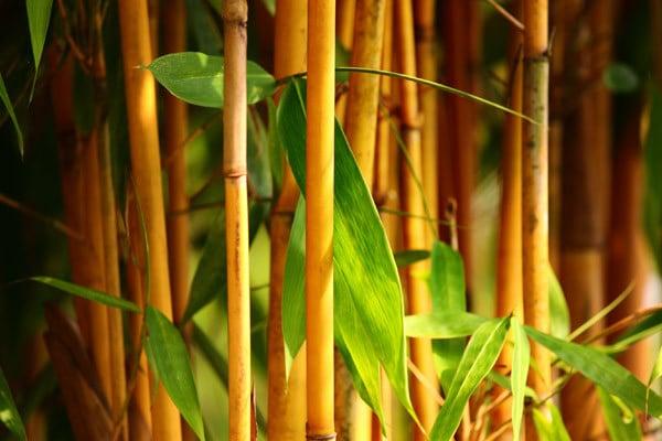 bambus im kübel preise