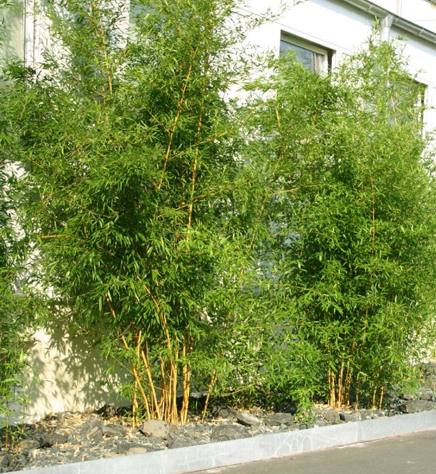 bambus im kübel schon