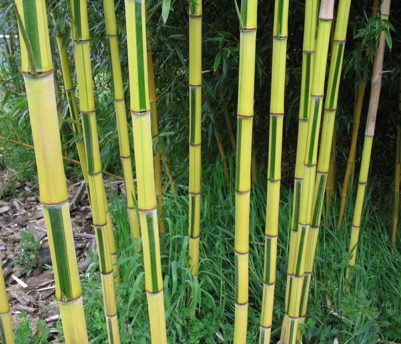 bambus im kübel betrachtungsvoll