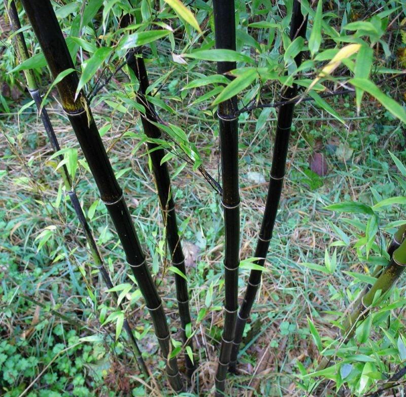 bambus im kübel preis