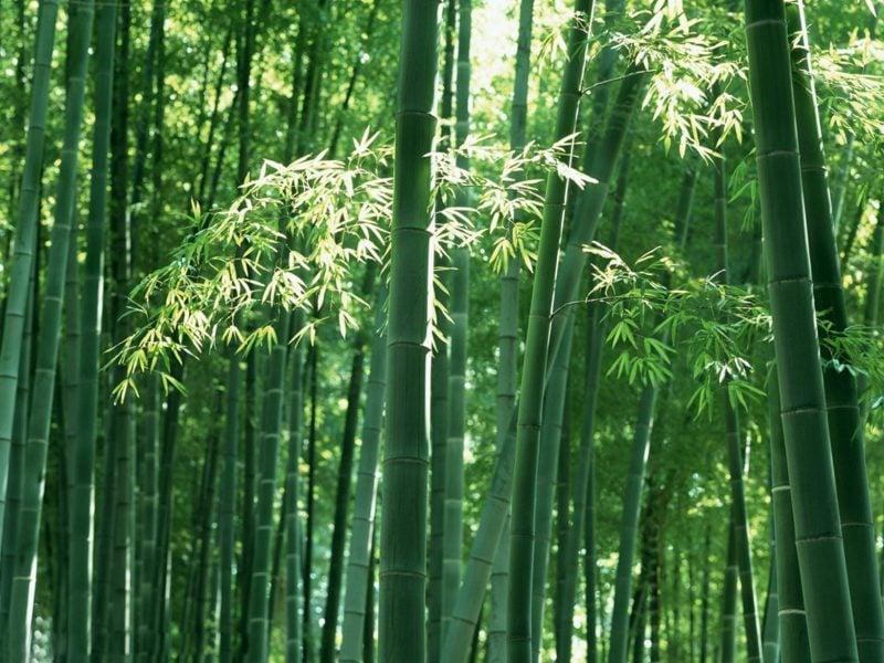 bambus im kübel wald