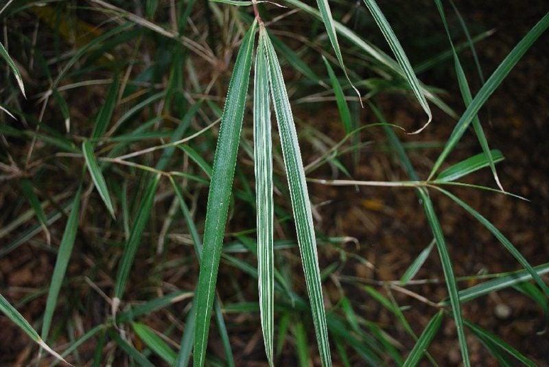bambus im kübel billig