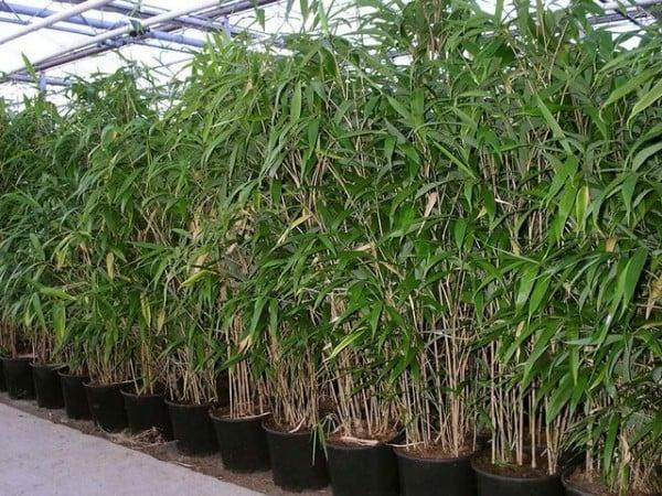 bambus im kübel kosten