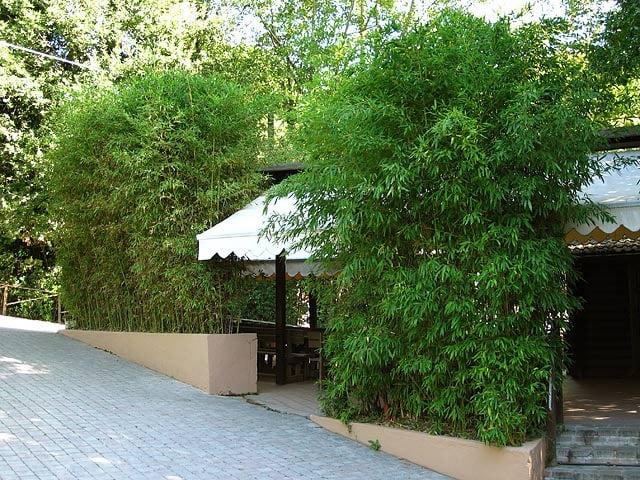 bambus im kübel draussen
