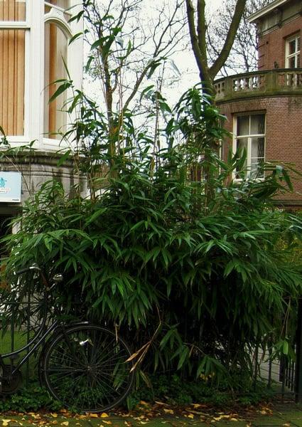bambus im kübel hoch