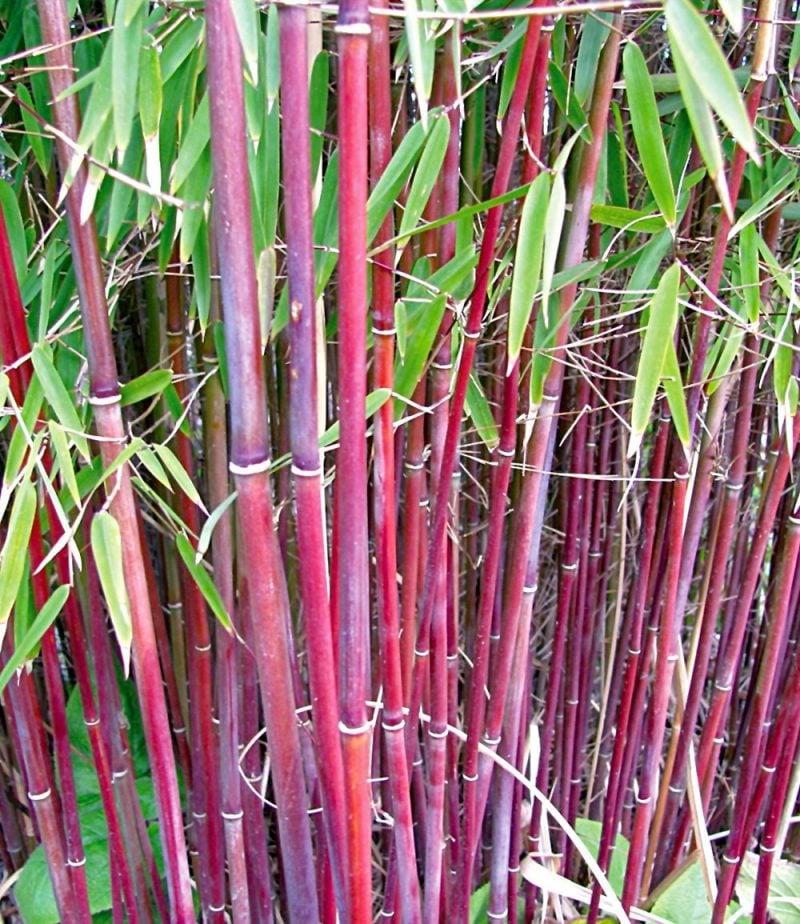 bambus im kübel rot