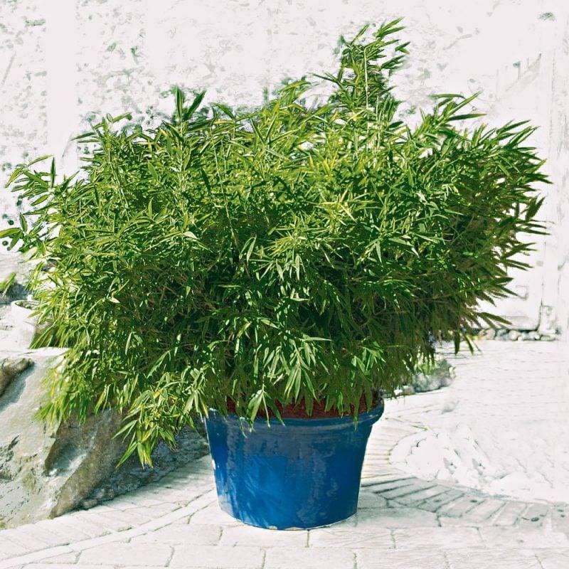 bambus im kübel klein