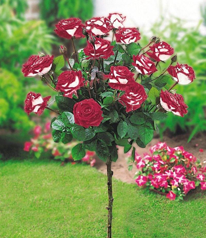 gartenstraucher rosen