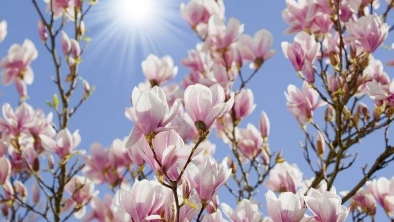 Sträucherarten Nach Ihren Eigenschaften Gartenstraucher Blühend
