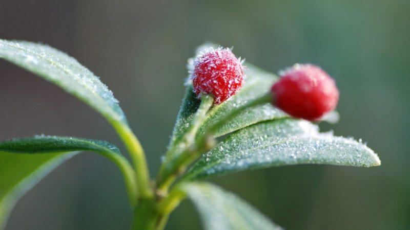 ... Gartenstraucher Winterhart