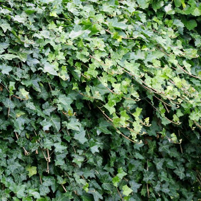 Elegant Gartenstraucher Winterhart