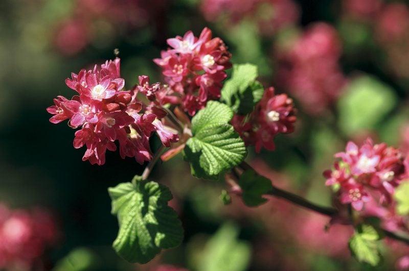 gartenstraucher blüten