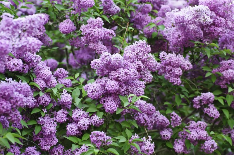 gartenstraucher lila