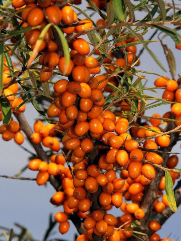 gartenstraucher orange