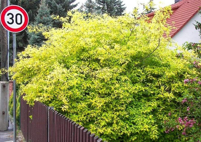 gartensträucher: 13 bezaubernde arten und pflegehinweise - garten, Garten Ideen