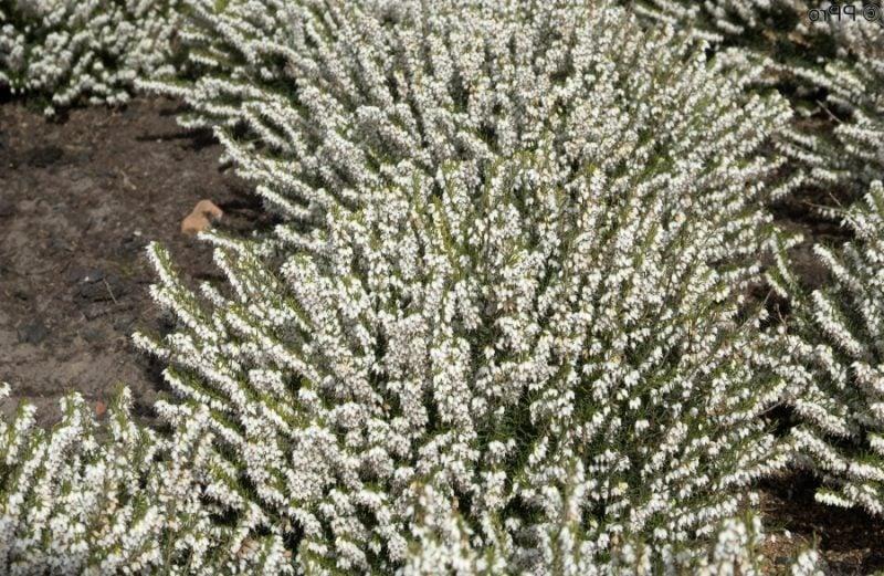 gartenstraucher winterblühend