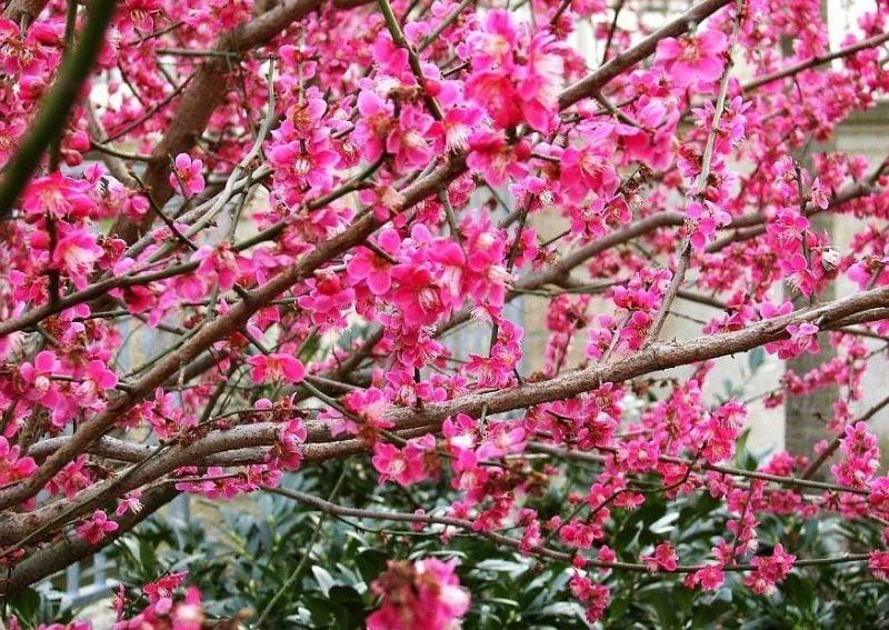 gartenstraucher rosa