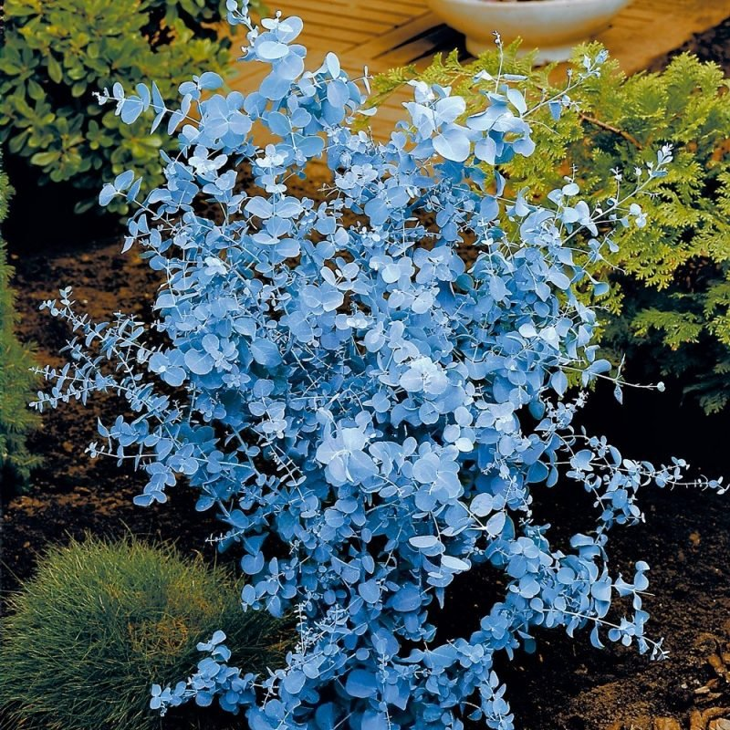 gartenstraucher blau