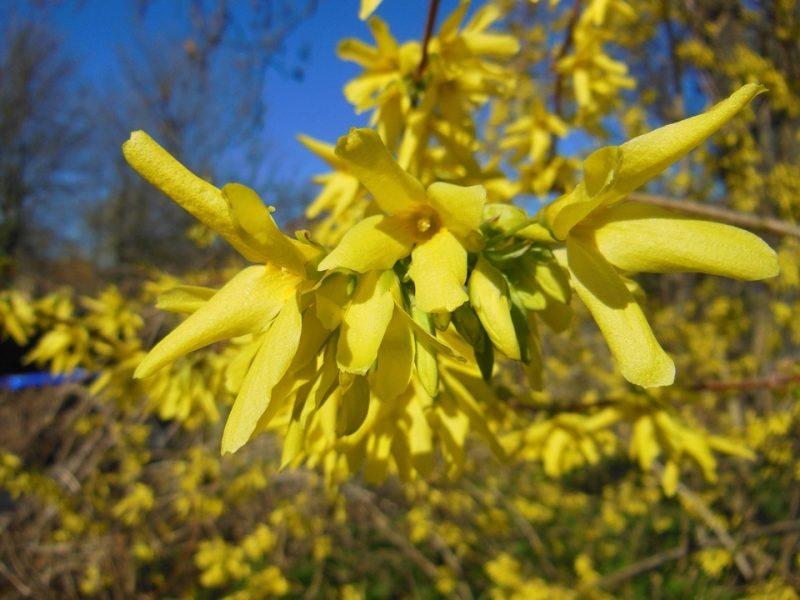 gartenstraucher gelb