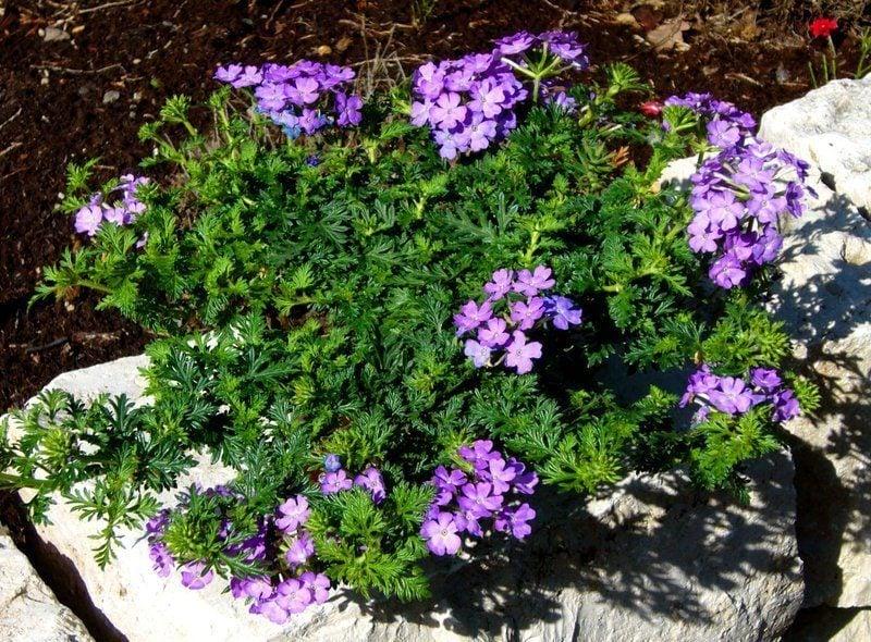grabbepflanzung lila