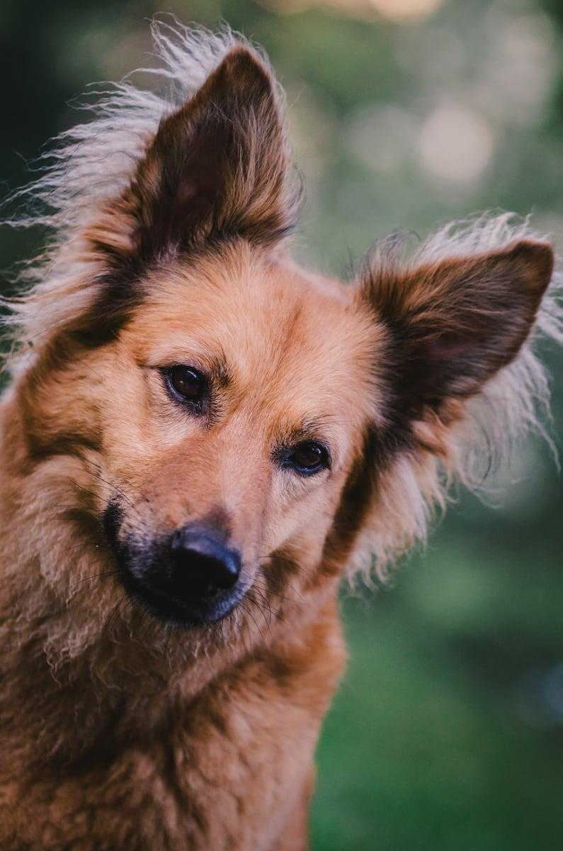 Harzer Fuchs ist Hüttehund
