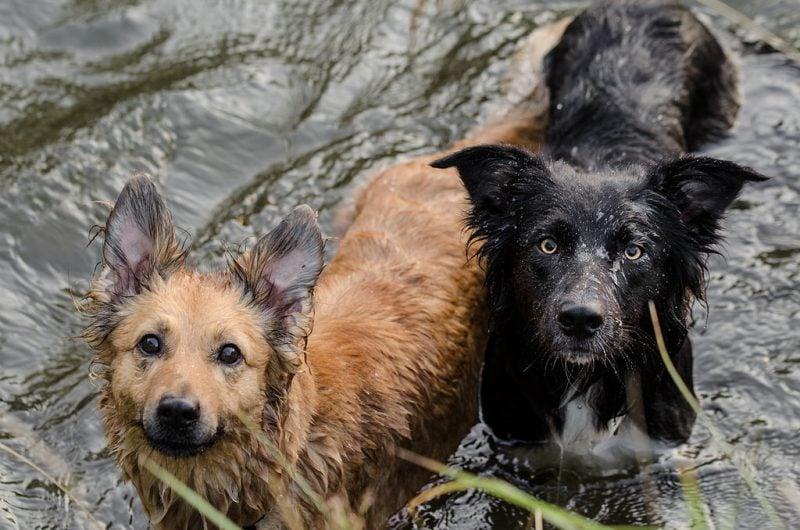 Harzer Fuchs ist ein Arbeitshund und braucht Bewegung