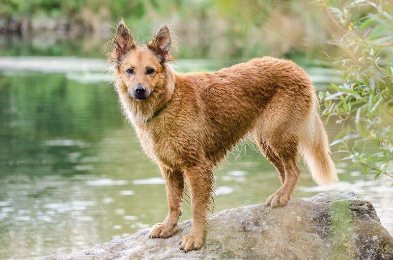 Der Harzer Fuchs ist treu Familienbegleiter