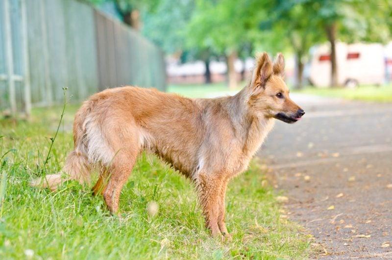 Harzer Fuchs: Beschreibung