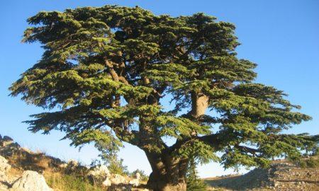 immergrune-baume-c%c3%a8dre_du_liban_barouk_2005