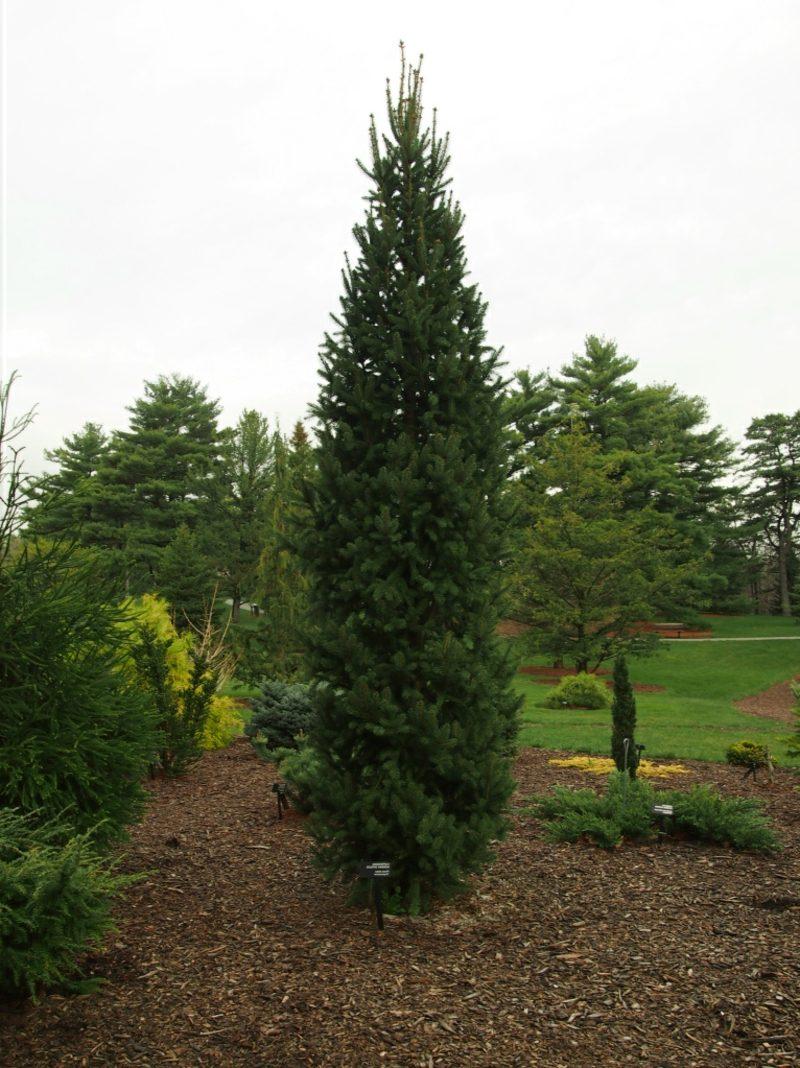immergrune baume cupressina spruce