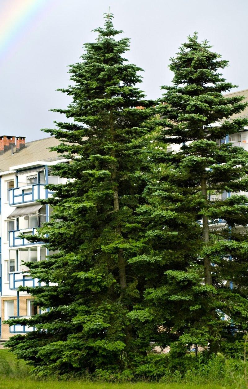 immergrune-baume-norway_spruce