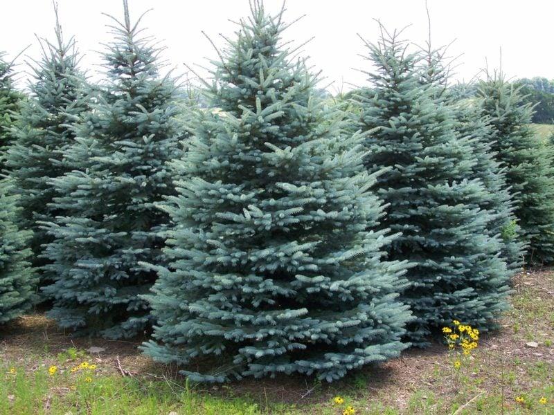 immergrune baume spruce colorado blue