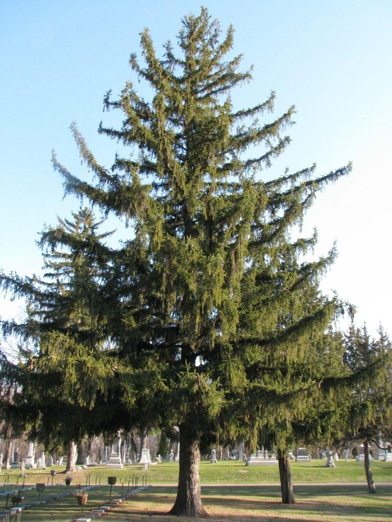 immergrune baume spruce
