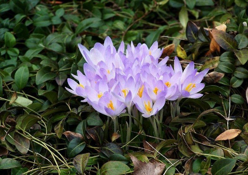 klassische bodendecker lila
