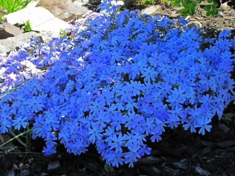 klassische bodendecker blau