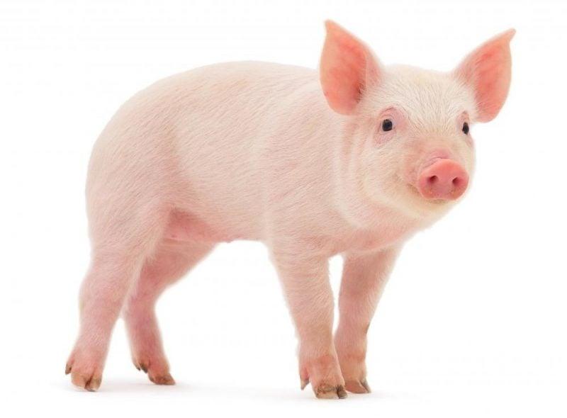 Japanische Sternzeichen: Bedeutung von Schwein