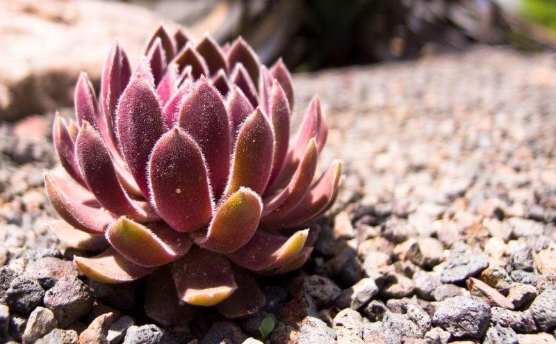 Kiesgarten anlegen Bepflanzung