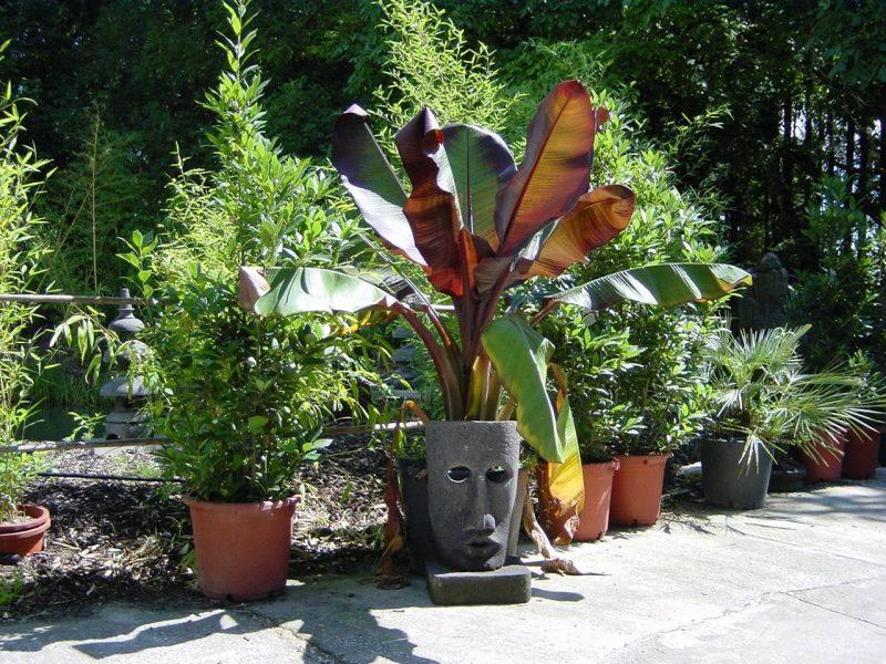 mediterrane pflanzen palme