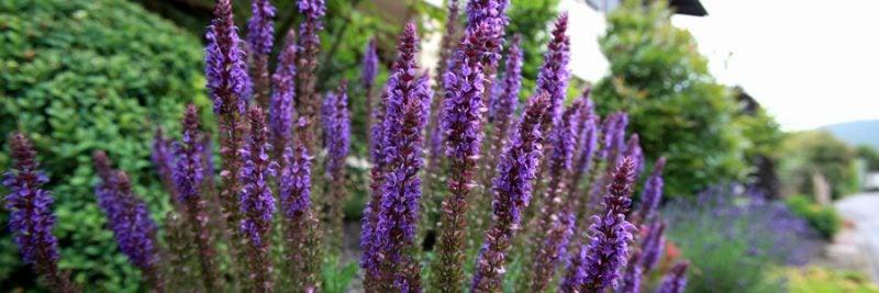 mediterrane pflanzen lavender