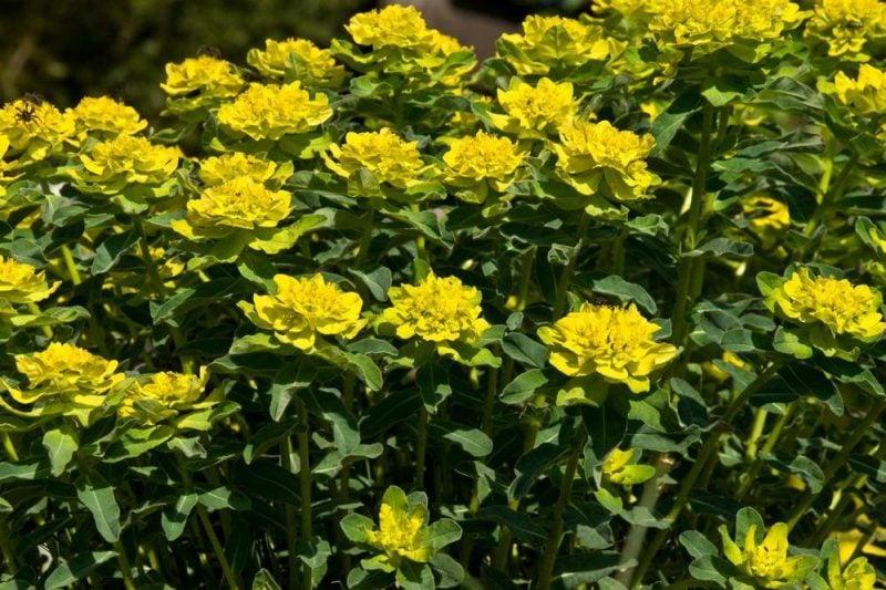 mediterrane pflanzen gelb