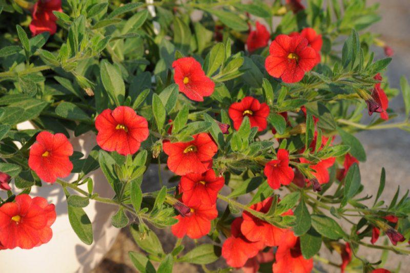 mediterrane pflanzen rot