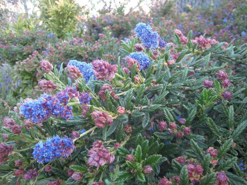 mediterrane pflanzen blau