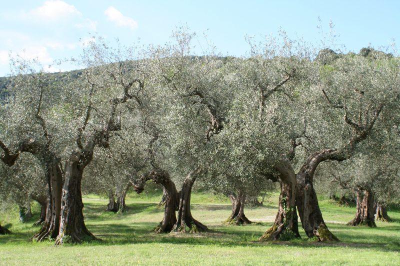 mediterrane pflanzen viel