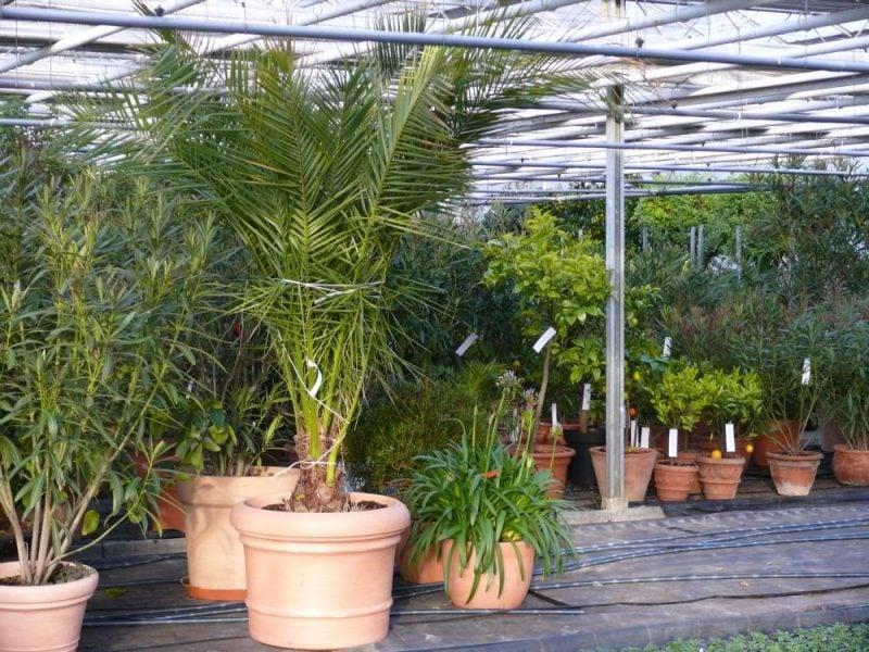 mediterrane pflanzen palmenarten