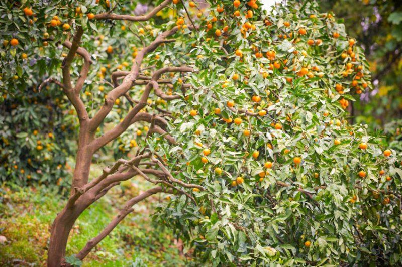mediterrane pflanzen baum