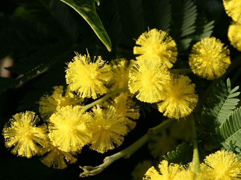 mimose kaufen teuer