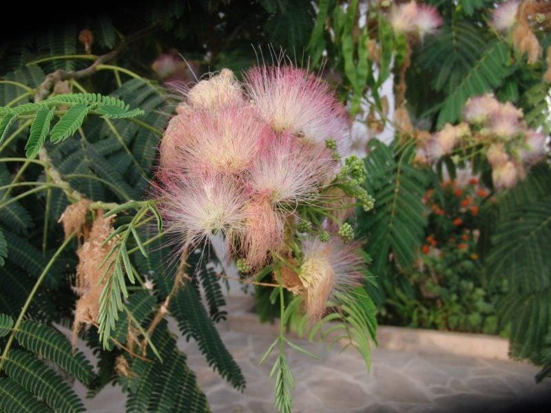 mimose kaufen lila