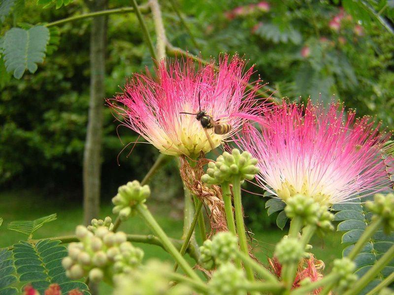 mimose kaufen rosa