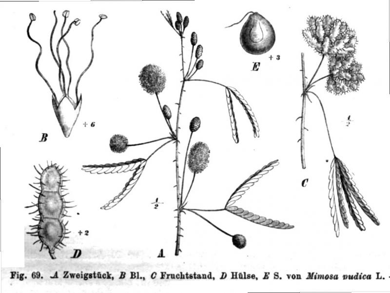 mimose kaufen hubsche